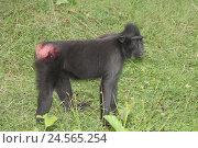 Купить «Schopfmakak,», фото № 24565254, снято 14 февраля 2011 г. (c) mauritius images / Фотобанк Лори