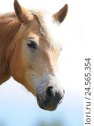 Купить «Domestic hores, Equus ferus caballus, portrait, side view, view in the camera, heaven,», фото № 24565354, снято 15 июня 2010 г. (c) mauritius images / Фотобанк Лори