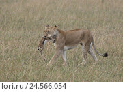 Купить «Lion, female with gazelle in the mouth,», фото № 24566054, снято 15 сентября 2010 г. (c) mauritius images / Фотобанк Лори