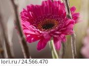 Купить «Flower, gerbera, blossom,», фото № 24566470, снято 14 апреля 2011 г. (c) mauritius images / Фотобанк Лори