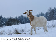 Купить «Boer goat, side view, standing, Looking at camera, snow, winter,», фото № 24566994, снято 21 августа 2018 г. (c) mauritius images / Фотобанк Лори
