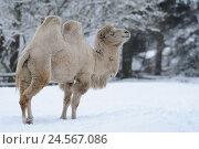 Купить «Bactrian camel, Camelus ferus, side view, standing, snow, winter,», фото № 24567086, снято 16 июля 2018 г. (c) mauritius images / Фотобанк Лори