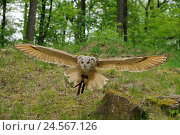Купить «Western Siberian Eagle-owl, bubo bubo sibiricus, front view, flying, Looking at camera, focus on the foreground,», фото № 24567126, снято 15 июня 2018 г. (c) mauritius images / Фотобанк Лори