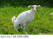 Купить «Boer goat, young animal, meadow, side view, standing, peeing, looking at camera,», фото № 24568686, снято 21 августа 2018 г. (c) mauritius images / Фотобанк Лори