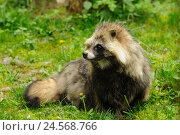 Купить «Raccoon dog, Nyctereutes procyonoides, meadow, side view, sitting,», фото № 24568766, снято 23 февраля 2019 г. (c) mauritius images / Фотобанк Лори