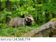 Купить «Raccoon dog, Nyctereutes procyonoides, meadow, side view, standing,», фото № 24568774, снято 25 мая 2018 г. (c) mauritius images / Фотобанк Лори