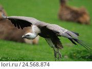 Купить «Griffon vulture, Gyps fulvus, side view, flying, focus on the foreground,», фото № 24568874, снято 25 мая 2018 г. (c) mauritius images / Фотобанк Лори