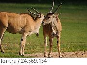Купить «Elk's antelopes, Taurotragus oryx, meadow, stand,», фото № 24569154, снято 3 июня 2011 г. (c) mauritius images / Фотобанк Лори