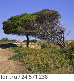 Купить «Portugal, Algarve, Lagos, coast, scenery, trees, Europe, destination, coastal scenery, nature, vegetation, plants, outside, deserted, heaven, blue, cloudless, sunny,», фото № 24571238, снято 17 октября 2008 г. (c) mauritius images / Фотобанк Лори