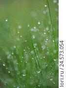 Купить «Grass, drops water, nature, meadow, plants, stalks, green, wet, moisture, humidity, damp, freshness, rope, dewdrop, morning rope, rain, raindrop, water, drop, many, glitters,», фото № 24573054, снято 15 сентября 2008 г. (c) mauritius images / Фотобанк Лори