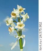 Купить «Narcissi, Narcissus, Strauss, cord, medium close-up, blue sky,», фото № 24575902, снято 2 марта 2011 г. (c) mauritius images / Фотобанк Лори