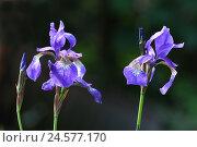Купить «Siberian iris, iris sibirica,», фото № 24577170, снято 30 сентября 2010 г. (c) mauritius images / Фотобанк Лори