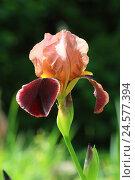 Купить «German iris, iris germanica,», фото № 24577394, снято 30 сентября 2010 г. (c) mauritius images / Фотобанк Лори