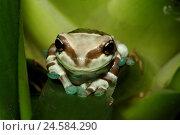 Купить «Toad foliage frog, leaves, sit, portrait, tree pits-toad foliage frog, frog, foliage frog, frog Amphibian, amphibian, wild animal, animal, nature, green...», фото № 24584290, снято 11 марта 2009 г. (c) mauritius images / Фотобанк Лори