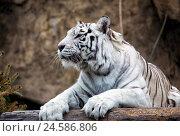 Купить «White Bengal Tiger», фото № 24586806, снято 9 марта 2015 г. (c) Сергей Лаврентьев / Фотобанк Лори