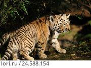 Купить «Siberian tigers, Panthera tigris altaica, young animals, side view, running,», фото № 24588154, снято 22 августа 2018 г. (c) mauritius images / Фотобанк Лори