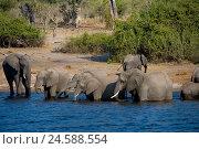 Купить «Africa, Namibia, Chobe national park, Chobe river, elephant,», фото № 24588554, снято 12 декабря 2007 г. (c) mauritius images / Фотобанк Лори