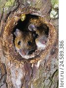 Купить «Wood mice, Apodemus sylvaticus, couple, in tree hole,», фото № 24589386, снято 18 августа 2018 г. (c) mauritius images / Фотобанк Лори
