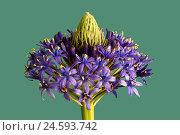 Купить «Of Peruvian Blaustern, blossom, blue stars, Scilla, inflorescence, [M], inflorescence, spring, Frühlingsblüher, Scilla, violet, bulb flower, hyacinth plants...», фото № 24593742, снято 15 июня 2010 г. (c) mauritius images / Фотобанк Лори