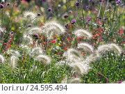 Купить «Ornamental grass, feathertop grass, Pennisetum villosum,», фото № 24595494, снято 27 марта 2019 г. (c) mauritius images / Фотобанк Лори