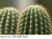 Купить «Cacti, two, side by side, detail,», фото № 24600822, снято 16 ноября 2007 г. (c) mauritius images / Фотобанк Лори
