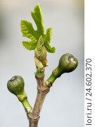 Купить «Cowardly, ficus carica, bud, lamella, branch, green,», фото № 24602370, снято 16 ноября 2007 г. (c) mauritius images / Фотобанк Лори