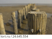 Купить «Germany, Schleswig - Holstein, north frieze country, island Sylt, watt, low tide, wooden pole, close up, whelks, North Sea island, coast, mud flats, watt...», фото № 24645554, снято 12 декабря 2007 г. (c) mauritius images / Фотобанк Лори