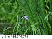 Купить «Multi colour iris, iris versicolor,», фото № 24646778, снято 20 августа 2018 г. (c) mauritius images / Фотобанк Лори