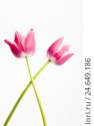 Купить «Tulips, red, two, crossed, close-up, studio, cut out,», фото № 24649186, снято 16 августа 2018 г. (c) mauritius images / Фотобанк Лори