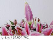 Купить «Lily, blossom, bud, medium close-up, lily plant, overcast admiral, semen plant, pink, red, white, colours, brightly, blossom, flower, plant, plant world...», фото № 24654762, снято 23 мая 2018 г. (c) mauritius images / Фотобанк Лори