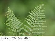 Купить «Real worm fern, Dryopteris filix-mas,», фото № 24656402, снято 17 августа 2018 г. (c) mauritius images / Фотобанк Лори
