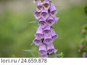 Купить «Purple foxglove, digitalis purpurea, blossom,close up,», фото № 24659878, снято 22 июля 2018 г. (c) mauritius images / Фотобанк Лори