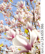 Купить «Tree, magnolia blossoms, spring, blossoms, magnolia, Germany, outdoors, Europe, tree blossoming, botany, blossom, flora, ornamental, herald of spring,...», фото № 24659986, снято 18 августа 2018 г. (c) mauritius images / Фотобанк Лори