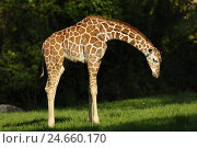Купить «Network giraffe, meadow, at the side, stand,», фото № 24660170, снято 17 октября 2018 г. (c) mauritius images / Фотобанк Лори