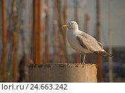 Купить «Resting Seagull, Close-up,», фото № 24663242, снято 19 августа 2018 г. (c) mauritius images / Фотобанк Лори
