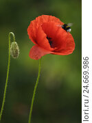 Купить «Corn poppy, Papaver rhoeas, bumblebee, close-up,», фото № 24669986, снято 21 августа 2018 г. (c) mauritius images / Фотобанк Лори
