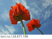 Купить «Oriental poppy seed, two blossoms before cirri in the heaven,», фото № 24671198, снято 20 апреля 2018 г. (c) mauritius images / Фотобанк Лори