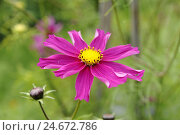 Купить «Jewellery baskets, Cosmos bipinnatus, blossom, pink, medium close-up,», фото № 24672786, снято 18 августа 2018 г. (c) mauritius images / Фотобанк Лори