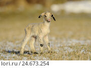 Купить «Lamb, stand, at the side, Hausschaf, young animal, animal child, animal baby, younger generation, sheep, goat-like, pet, ruminant, benefit animal, mammal...», фото № 24673254, снято 19 августа 2018 г. (c) mauritius images / Фотобанк Лори