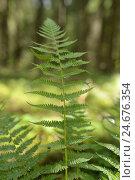 Купить «Real worm fern, Dryopteris filix-mas, leaves,», фото № 24676354, снято 17 августа 2018 г. (c) mauritius images / Фотобанк Лори