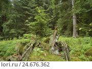 Купить «Young spruce, Picea abies, forest floor,», фото № 24676362, снято 17 июля 2018 г. (c) mauritius images / Фотобанк Лори