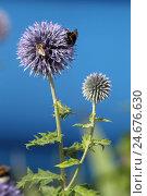 Купить «Sphere thistle with bumblebees,», фото № 24676630, снято 15 июля 2012 г. (c) mauritius images / Фотобанк Лори