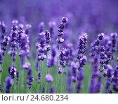 Купить «Lavender field,», фото № 24680234, снято 22 сентября 2018 г. (c) mauritius images / Фотобанк Лори