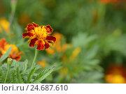 Купить «Upright French marigold, French marigold erecta, medium close-up, blossom,», фото № 24687610, снято 22 сентября 2018 г. (c) mauritius images / Фотобанк Лори