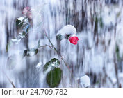 Цветок японской айвы в снегу. Стоковое фото, фотограф Ясевич Светлана / Фотобанк Лори