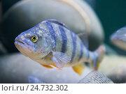 Купить «marine fish in the aquarium in glass», фото № 24732302, снято 10 декабря 2016 г. (c) Володина Ольга / Фотобанк Лори