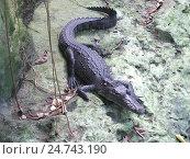 Крокодил без лапы. Стоковое фото, фотограф Алексей Смолов / Фотобанк Лори