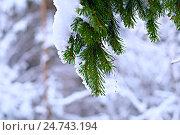 Ветка ели под снегом. Стоковое фото, фотограф Владимир Мигонькин / Фотобанк Лори