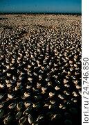 Купить «Cape gannets, Morus capensis», фото № 24746850, снято 13 октября 2019 г. (c) age Fotostock / Фотобанк Лори