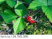 Купить «Ягоды костяники  в лесу», фото № 24765306, снято 9 марта 2014 г. (c) Игорь Потапов / Фотобанк Лори